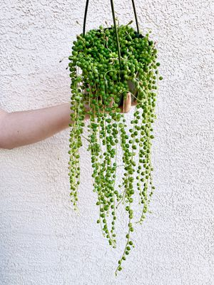 String Of Pearls Live Plant for Sale in Las Vegas, NV