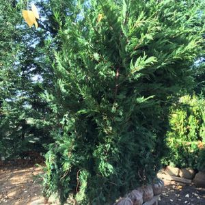 Leyland Cypress Tree 9ft Tall for Sale in Happy Valley, OR