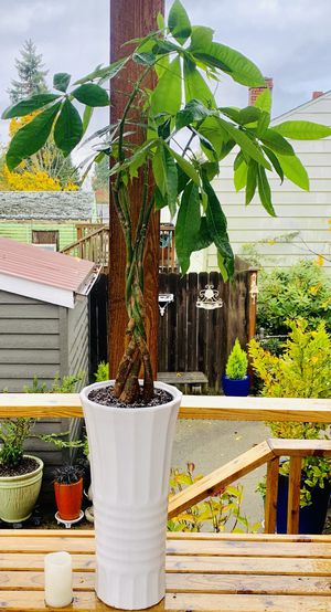 Live indoor Money tree house plant in a textured ceramic planter flower pot—firm price for Sale in Seattle, WA