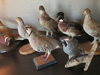 Taxidermy Birds Lot for Sale in Roosevelt,  AZ