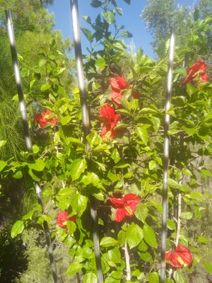 Hibiscus vertical 7 ft Cardinals or Raiders theme for Sale in Tempe, AZ