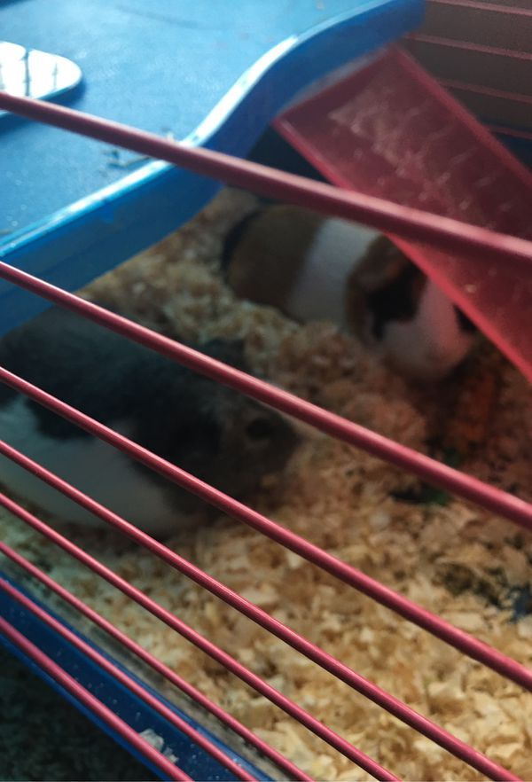 2 female guinea pigs only
