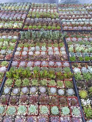 "64 pack tray of 2"" Succulents for Sale in Miami, FL"