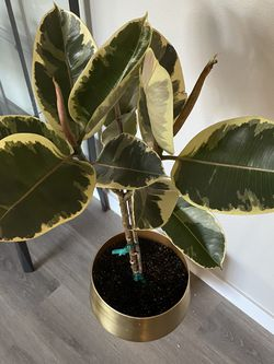 Ficus Tree Indoor Plant With Pot for Sale in Camas,  WA
