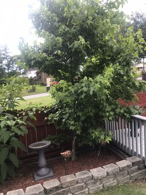 Maple and Evergreen trees FREE!! for Sale in Marietta, GA