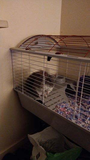 Two chinchillas with cage for Sale in Seattle, WA