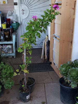 Purple geranium for Sale in Fresno, CA