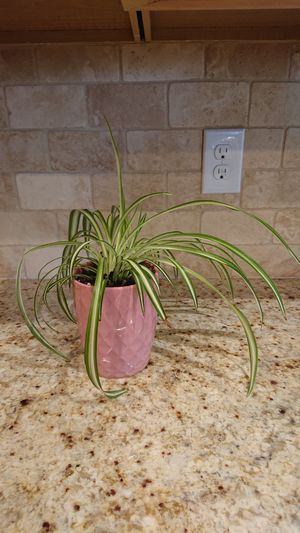 Healthy indoor plant (pink) for Sale in Arvada, CO