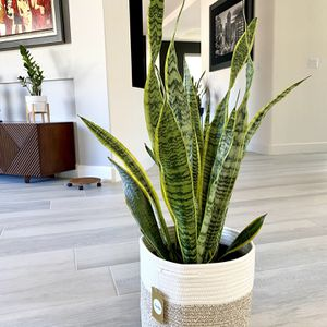 Live Snake Plant In A Contemporary Woven Planter Basket. Air-purifying Plant for Sale in Las Vegas, NV