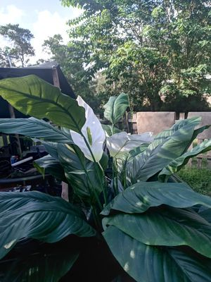 Fake plant good for home or office for Sale in Mulberry, FL