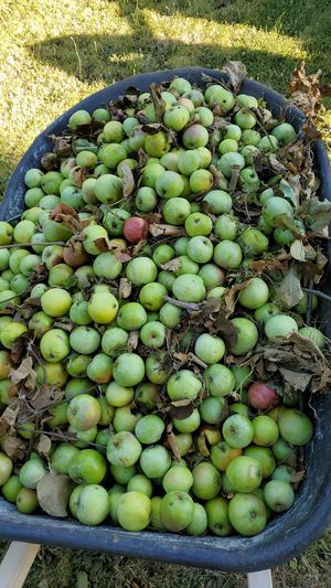Free apples for livestock for Sale in Battle Ground, WA