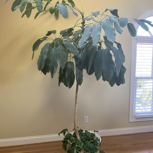 Live Plant for Sale in Franklin, TN