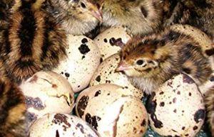 Quail eggs for Sale in Merrill, WI