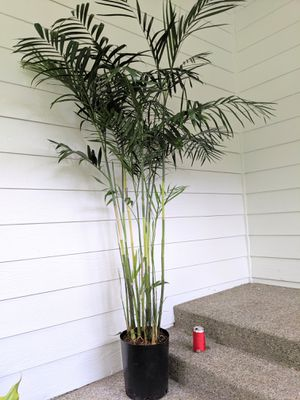 6ft tall Bamboo Palm Plants - Real Indoor House Plant for Sale in Auburn, WA