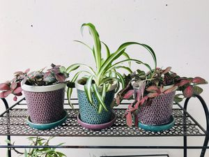 3 Houseplants with Pots for Sale in Lakewood, OH