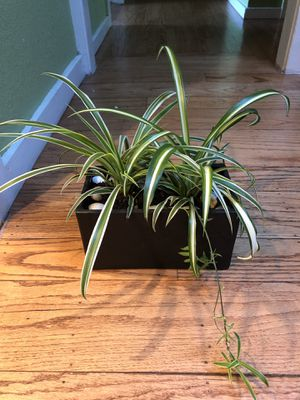 Two kinds of Spider plants in black square ceramic pot for Sale in Berkeley, CA
