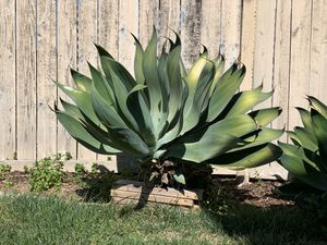 Agave Plants. Three available! for Sale in Chula Vista, CA