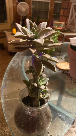 Huge Escheveria succulent with tons of tiny babies growing on stem for Sale in Arlington, TX