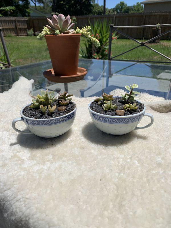 Small Succulent teacup arrangement