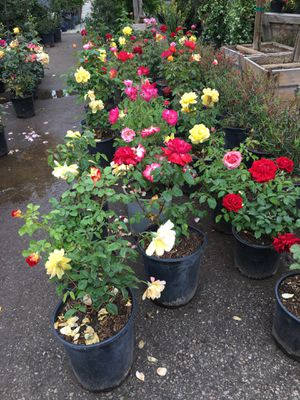 Rose bush plant , all different colors, 5gal $15 each for Sale in Highland, CA
