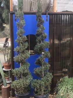 Juniper Topiary 8'H for Sale in Los Angeles,  CA