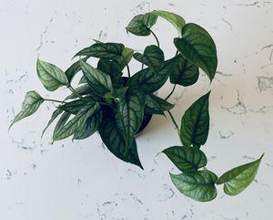 RARE Monstera Siltepecana Plant for Sale in San Diego, CA