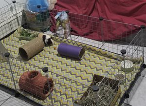 Guinea pig cage and supplies (all for 100 but I can sell separate) for Sale in Salem, MA