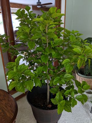 Hibiscus tree for Sale in Appleton, WI