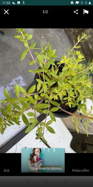 Succulent sedum perennial for Sale in Chicago, IL