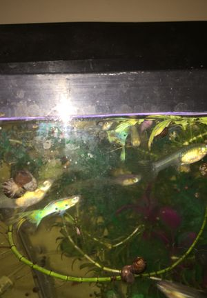 Pet fish and Aquatic Plants (Molly's, Sword Tails, Ciclids, Guppies) for Sale in Hilo, HI