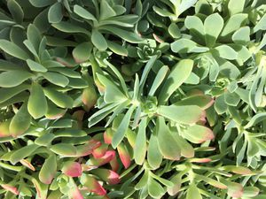 Rare & cool succulent! SEDUM PALMERI for Sale in Puyallup, WA