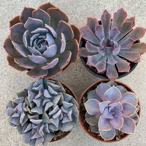 """4"""" Pink and Purple Echeveria bundle! Premium quality and gorgeous colors! for Sale in Chino Hills, CA"""