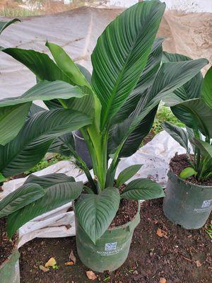 Indoor plant for Sale in Ontario, CA