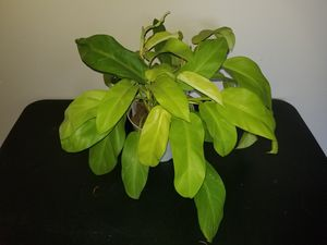 Philodendron Lemon Lime for Sale in Columbus, OH