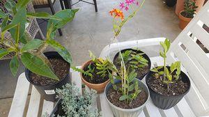 Plumeria,succulent,zigzag cactus and 3 orchids for Sale in Downey, CA