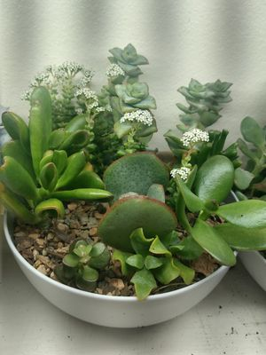 Succulent plant garden for Sale in Bellevue, WA