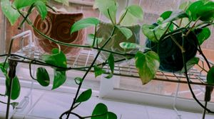 Fresh Golden Pothos Plant for Sale in Fresno, CA