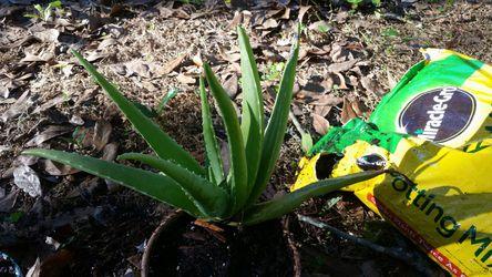 Large Aloe Vera plant arrangment for Sale in Frostproof,  FL