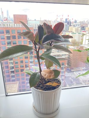 Rubber plant (indoor, minimal care) for Sale in New York, NY
