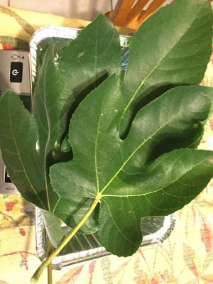 Figs leafs fresh 15 count for Sale in Matthews, NC