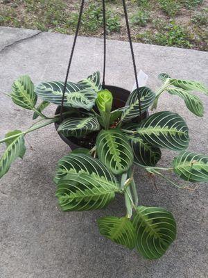 Lemon lime prayer plant for Sale in Tarpon Springs, FL