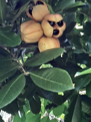 Ackee for Sale in GRANT VLKRIA, FL