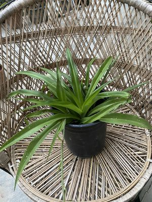Potted Spider plant for Sale in San Jose, CA