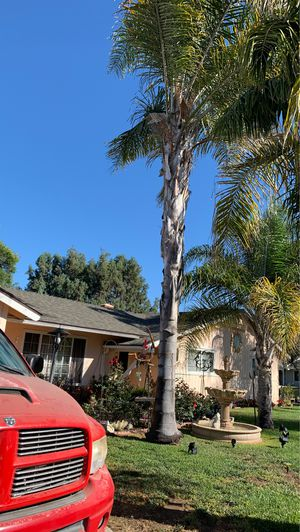 Palm tree for sale for Sale in Buellton, CA
