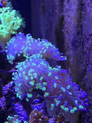 Bicolor Hammer Coral 4+ Heads for Sale in San Diego, CA