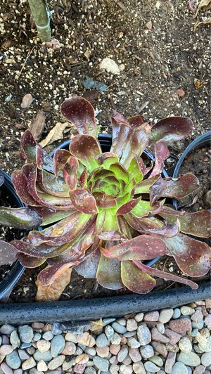 Black Rose Succulents for Sale in Spring Valley, CA