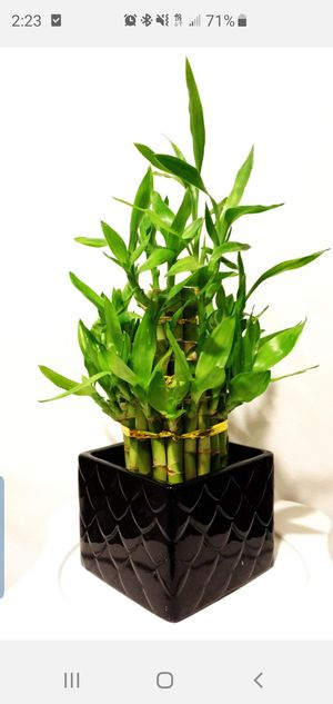 Large 3 tire lucky bamboo bundle live plants for Sale in Costa Mesa, CA