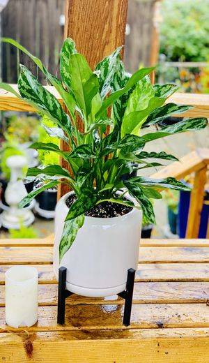 Live indoor Chinese Evergreen house plant in ceramic planter flower pot with attached base and metal stand—firm price for Sale in Seattle, WA