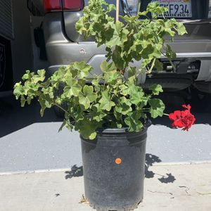 Red geranium plant for Sale in Stockton, CA