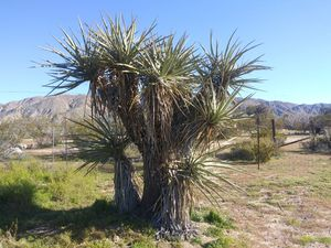 Yucca plants for Sale in Morongo Valley, CA